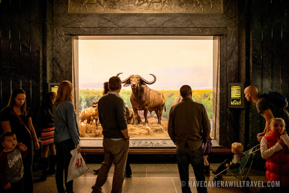 Buffalo exhibit in the large mammals hall at the Museum of Natural History in New York's Upper West Side neighborhood, adjacent to Central Park.
