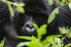 Close-up portrait of a male mountain gorilla (Gorilla beringei beringei) looking out through leaves and vegetation, Park de Volcanoes ,Rwanda
