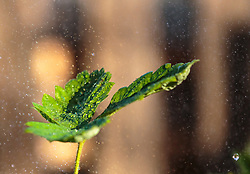 THEMENBILD - Blätter einer Erdbeerpflanze im Sonnenlicht während des gießens, aufgenommen am 10. April 2018 in Kaprun, Österreich // Leaves of a strawberry plant in the sunlight during pouring, Kaprun, Austria on 2018/04/10. EXPA Pictures © 2018, PhotoCredit: EXPA/ JFK