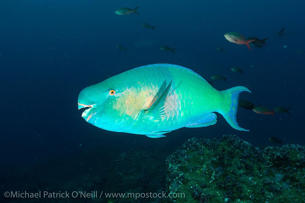 A Bicolor Parrotfish, Scarus rubroviolaceus, swims near the rocky reef offshore Darwin Island, Galapagos, Ecuador.