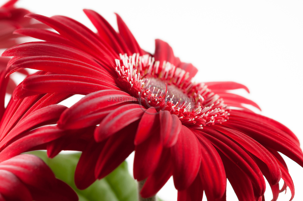 Gerbera daisy against white background
