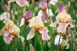 Iris 'Benton Olive'. National Collection of Sir Cedric Morris Irises designed by Sarah Cook in collaboration with Howard Nurseries. Display in the Grand Marquee. Gold medal winner. RHS Chelsea Flower Show 2015