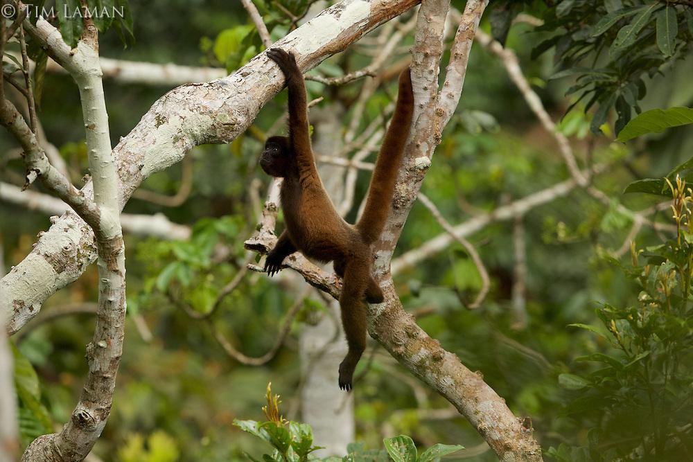 Poeppig's Woolly Monkey (Lagothrix poeppigii) at the Tiputini Biodiversity Station, Orellana Province, Ecuador<br /><br />Juvenile brachiating