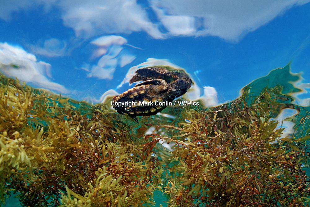 Loggerhead turtle, Caretta caretta, is found in oceans worldwide . They are endangered and juveniles seek refuge in the open ocean from predators in Sargassum weed, Florida, Atlantic Ocean