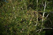 Apples are produced by a volunteer tree along a stream in Madera Canyon, Santa Rita Mountains, Coronado National Forest, Sonoran Desert, Green Valley, Arizona, USA.