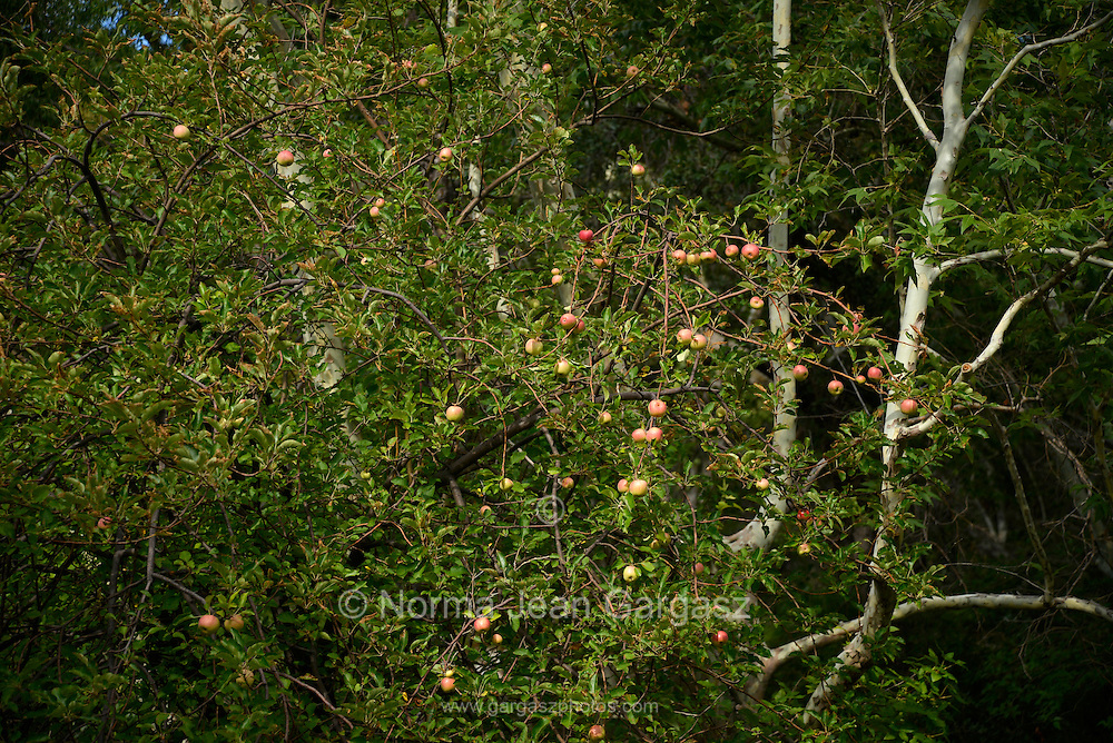 Apples are produced by a volunteer tree along a stream in Madera Canyon, Santa Rita Mountains, Coronado National Forest, Sonoran Desert, Green Valley, Arizona, USA.