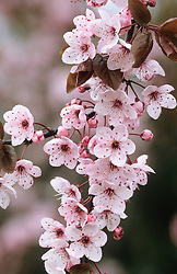 Prunus cerasifera 'Nigra' syn. 'Pissardii Nigra' - Ornamental cherry plum