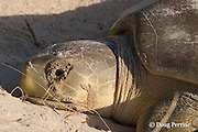 Australian flatback sea turtle, Natator depressus, nesting female with excretions from salt glands leaking out of eyes like tears, Crab Island, off Cape York Peninsula, Torres Strait, Queensland, Australia