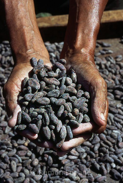 Cacao Seco. Después de fermentados, los granos son colocados al sol por unos cuatro o cinco días, tiempo en que se ponen rojizos u oscuros. Cabe destacar que para la elaboración del chocolate son indispensables las semillas de cacao. 2001 (Ramón Lepage / Orinoquiaphoto)  Dried Cocoa. After fermented, the grains are placed to the Sun for approximately four or five days, time in which they become reddish or dark. It's necessary to emphasize that for the elaboration of the chocolate the cocoa's seeds  are indispensable. 2001 (Ramon Lepage / Orinoquiaphoto)