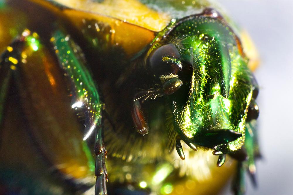 Green June Beetle.