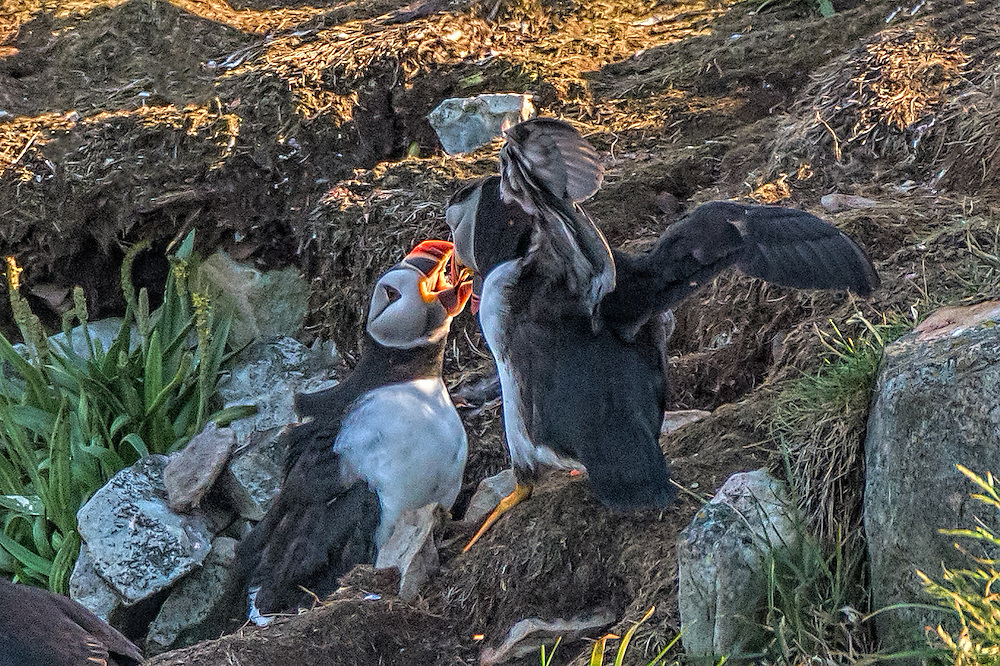 Pair of Atlantic Puffin -  Fratercula arctica having a gabfest with their mouth open and illuminated by the sun