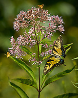 Tiger Swallowtail and two Skipper Butterflies on a Joe Pye Weed. Image taken with a Nikon D2xs camera and 80-400 mm VR lens.