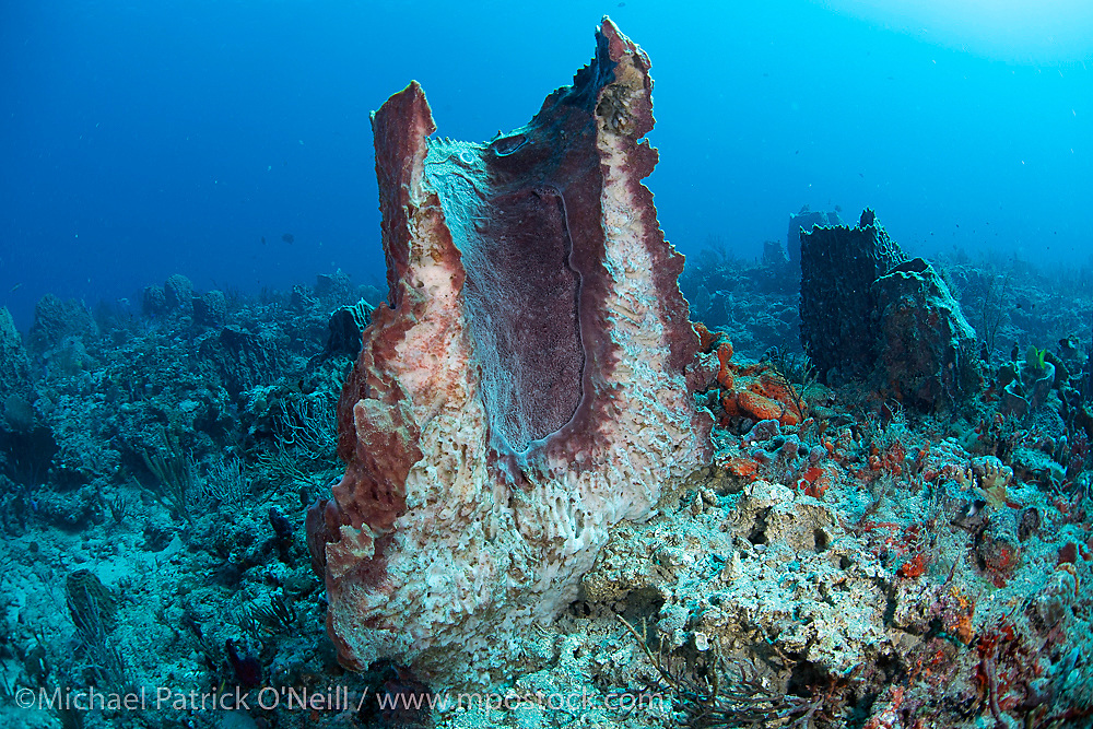 The cross section of a barrel sponge, Xestospongia sp, suffering from an unknown disease offshore Palm Beach, Florida.