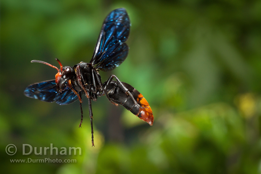 Potter Wasp, a female of the genus Anterhynchium, Photographed in Matobo National Park, Zimbabwe. © Michael Durham / www.DurmPhoto.com