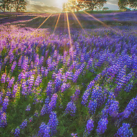Lupine and oak trees at sunset along the shore of Folsom Lake, California.