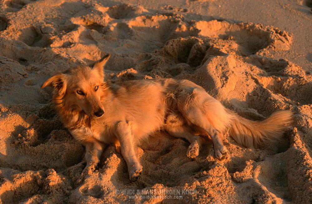 PRT, Portugal: Streunender Hund, Haushund (Canis lupus familiaris), liegt am Strand in der letzten Abendsonne, Armacao de Pera, Algarve | PRT, Portugal: Stray dog, domestic dog (Canis lupus familiaris), laying on the beach in the last evening sun, Armacao de Pera, Algarve |