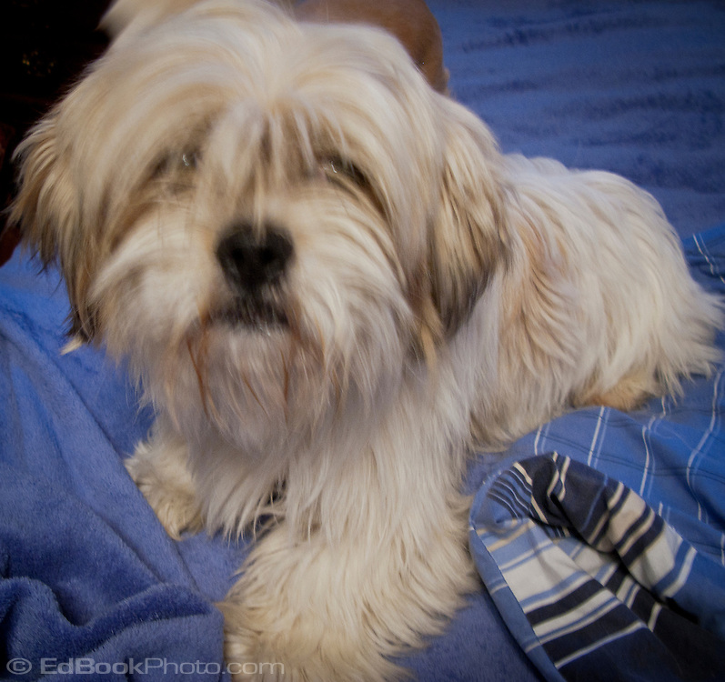 Lhasa apso named Wally who is the sire of the pup we are adopting.  The mother's name is Sunny.