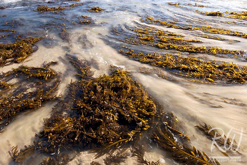 Giant Kelp and Incoming Ocean Tide Meets Malibu Lagoon, Malibu Lagoon State Beach, California