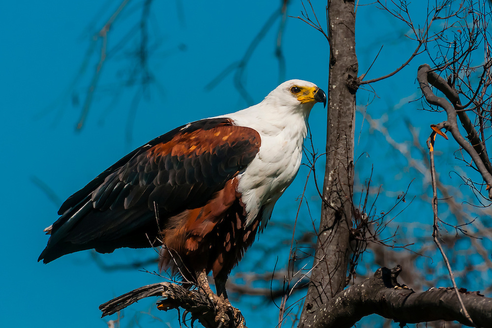 African Fish Eagle, near Kwara Camp, Okavango Delta, Botswana.
