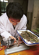 Animal dietician Ran Maohui weighs hybrid bamboo at the Chengdu panda breeding base. He was experimenting to find the optimal food composition for young pandas...A panda costs 30,000 yuan ($3,615) a year to keep -- compared with the average income of an urban Chinese of about 4,500 yuan...Copyright Justin Jin..