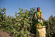 Prabhaben harvesting cotton on their farm in Ahmedabad, India.<br /> <br /> They have recently installed some drip irrigation on their farm and they are seeing some real improvements in their cotton plants but they are also saving water and time.