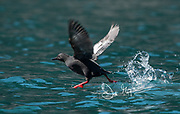 A Pigeon guillemot takes flight from the waters off the coast of southeast Alaska.