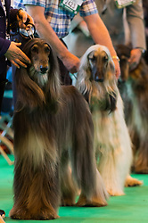 © Licensed to London News Pictures. 09/03/2017. Dog owners with their Afghan Hound dogs in competition on the first day of Crufts, the world's largest dog show. The annual event is organised and hosted by the Kennel Club and has been running since 1891. Birmingham, UK. Photo credit: Ray Tang/LNP