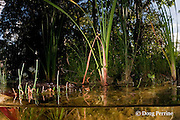 juvenile Morelet's crocodile, Central American crocodile, or Belize crocodile, Crocodylus moreletii, in cenote or freshwater spring near Tulum, Yucatan Peninsula, Mexico ( freshwater )