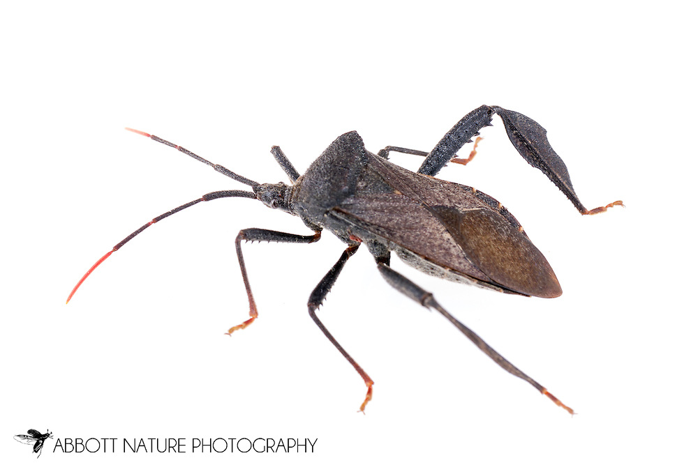 Leaf-footed Bug (Acanthocephala terminalis)<br /> TEXAS: Williamson Co.<br /> Cear Park<br /> 17-May-2015<br /> J.C. Abbott &amp; K.K. Abbott