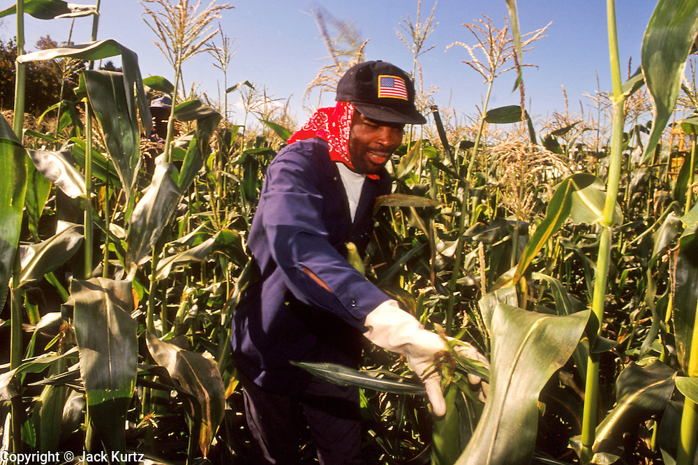 MILLBROOK, NEW YORK, USA: A Haitian migrant farm worker harvests sweet corn on a farm in central Dutchess county, near Millbrook, NY  PHOTO BY JACK KURTZ AGRICULTURE  FOOD LABOUR  LABOR
