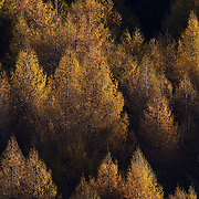 Autumn in Arrowtown. Trees in Autumn on the hillsides around Arrowtown..Arrowtown is the much visited, historic, 4-season, southern hemisphere holiday destination, located only 20 minutes drive from Queenstown, South Island, New Zealand..Arrowtown is a former gold-mining town built on the banks of the Arrow River, once a rich source of gold in the 1860's and now a sophisticated, multi-cultural town catering visitors from around the globe. Arrowtown offers an ambiance with its shops, restaurants, cafes, offices and galleries located within a tight precinct.  5th April 2011.  Photo Tim Clayton.