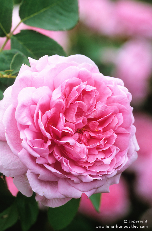 Rosa 'Comte de Chambourd' syn. Rosa 'Madame Knorr' - Portland Damask