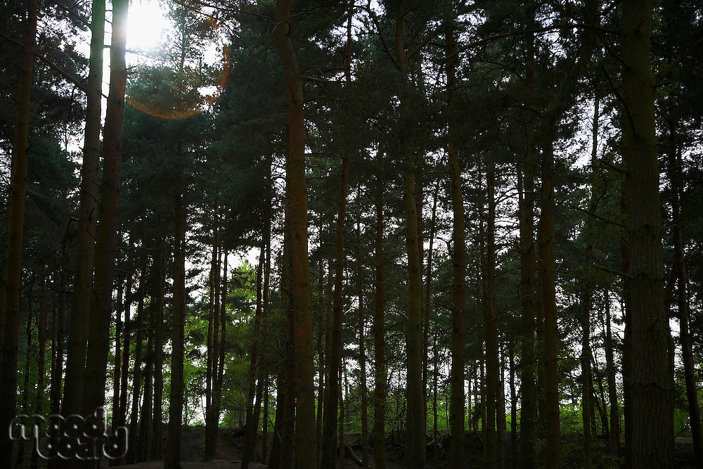Row of Trees in Forest
