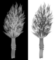 X-ray image of a magnolia pod (Magnolia, grayscale) by Jim Wehtje, specialist in x-ray art and design images.