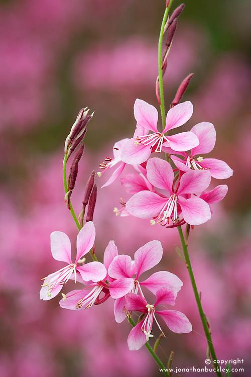 Gaura lindheimeri Pink