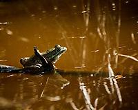 Kermit the Bullfrog. Image taken with a Nikon 1 V3 camera and 70-300 mm VR lens