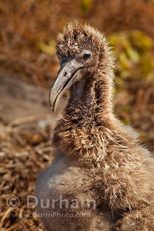 A waved albatross chick (Diomedea irrorata) ground nesting on Espanola Island, Galapagos Archipelago - Ecuador.