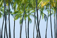 Palm trees on the shore of Hawaii, the big island