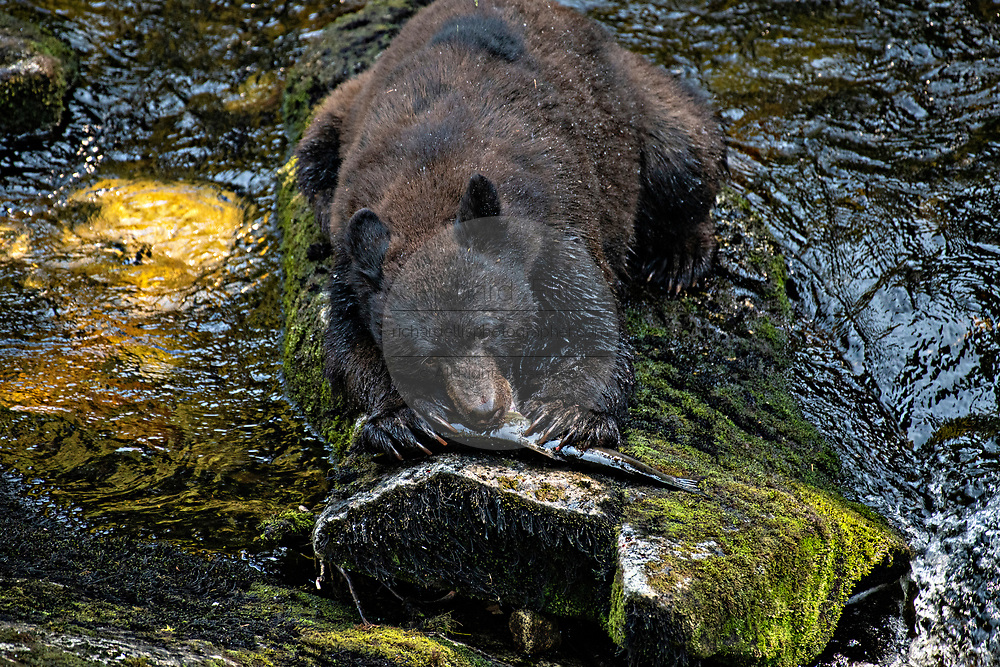 An adult American black bear bites into a salmon at Anan Creek in the Tongass National Forest, Alaska. Anan Creek is one of the most prolific salmon runs in Alaska and dozens of black and brown bears gather yearly to feast on the spawning salmon.