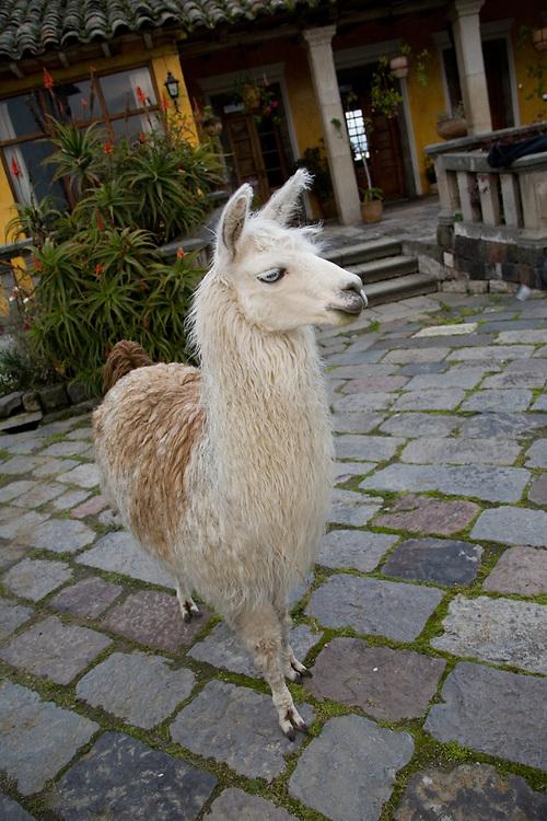 South America, Ecuador, Lasso, llama (Llama glama) in courtyard of Hacienda San Agustin de Callo   PR