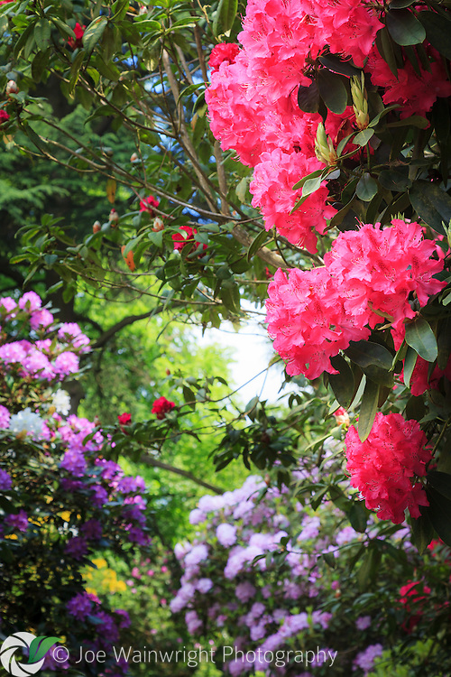 Beautiful purple, pink and red rhododendron blooms adorn an English garden.