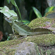 """A common basilisk, known as the """"Jesus"""" Lizard for its ability to run across water, sits on a rock wall waiting for a meal to come by"""