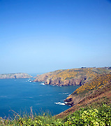 Yellow flowers on common gorse bushes on coastal cliffs on the west coast of the Island of Sark, Channel Islands, Great Britain
