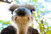 Close up portrait of an ostrich looking into camera with a wide angle lens, front of beak blurred.<br /> <br /> Commonly called the Southern Ostrich because it is found exclusively in Southern Africa.  Lives in a range independent of all other supspecies of ostrich. Ostrich are the largest living bird species on the Earth.