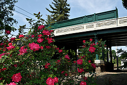 Roses are in full bloom at the end of the platform of St. Martin station at the Chestnut Hill West Line. (Bastiaan Slabbers for NewsWorks)