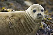 Harbor Seal<br /> Phoca vitulina<br /> Katmai National Park, Alaska