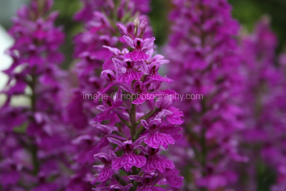pink flowering dactylorhiza occidentialis