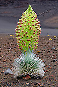 A silversword plant in bloom in Haleakala Crater on the Island of Maui. This is the only place in the world where these plants grow.