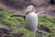 """The fish was THIIIIISSSSS big!""  At the end of a long day at sea, an endangered yellow-eyed penguin follows its daily routine of air-drying its feathers with outstretched flippers."