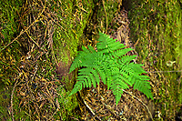 Fern growing along the trail in Grove of the Patriarchs, Mt. Rainier National Park, Washington, USA